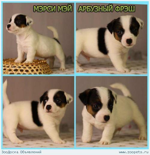Продаются щенки джек рассел терьера, Санкт-Петербург