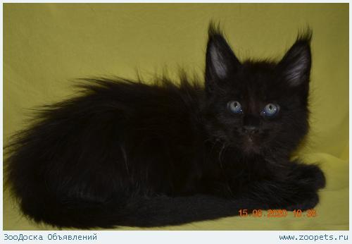 Черный как ночь котик мейн-кун из питомника