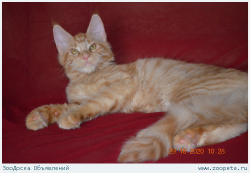 Котята мейн-кун - для знатоков и любителей