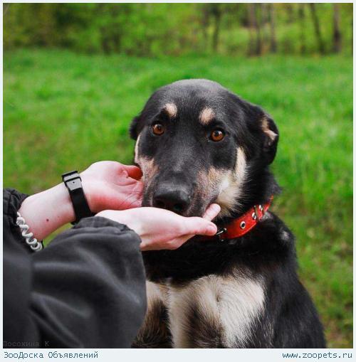 Отдаётся умнейший пес в добрые руки