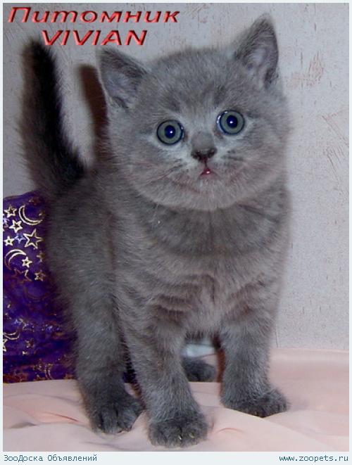 Британские голубые котята из питомника VIVIAN.