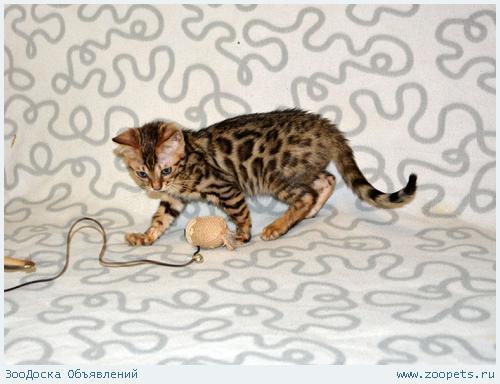 Отдам бенгальского котенка