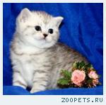 Британские плюшевые Серебристые котята с изумрудными глазами!