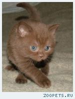 Британские котята шоколадного окраса из Питомника Ольги Барсуков