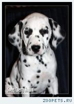 Продается щенок далматина с документами