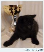 Британские котята лилового и черного окраса