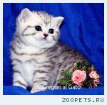 Британские плюшевые серебристые котята тебби