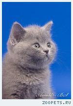 Британские мишутки - голубые британские котята.