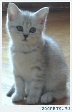 Продаю британских котят