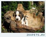 Продаю щенков бигля