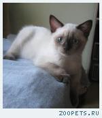 Британские котята шоколадные девочки и котики колор-поинты