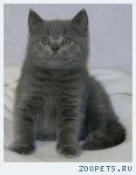 Шотландские котята и Хайленд
