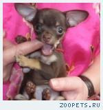Русский той терьер-щенки мини и стандарт