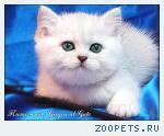 Британские котята серебристая шиншилла шоу класса