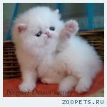 белоснежные персидские котята