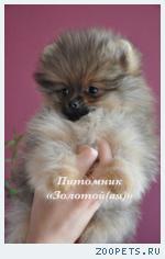 Щенки Немецкого (Померанского) миниатюрного шпица купить