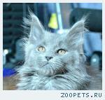 мейн-кун котята от Европейского чемпиона.