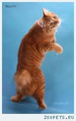 котята курильские бобтейлы