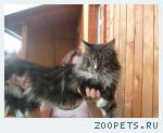 Кот мейн кун на вязку