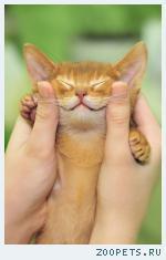 Абиссинские котята – мальчики окраса соррель