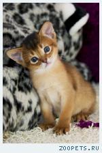 Абиссинские котята – девочки дикого окраса