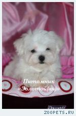 Продаю очаровательные щенки Мальтезе мини и стандарт