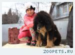 Продается щенок Тибетского Мастифа