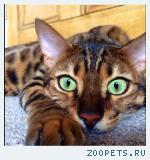 Бенгальский котенок. Бенгал