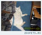 Пропал белый кот Кеша!
