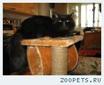 Персидский котик приглашает на вязку