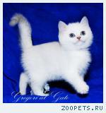 Белоснежные котята - медвежата с фиалковыми глазками