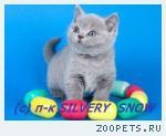 Британский котенок на счастье.