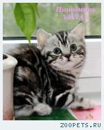 Британские котята мрамор из питомника VIVIAN