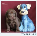 Красивейшие шоколадные щенки лабрадора