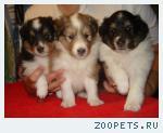 Продаются чистокровные щенки шелти.