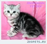 Британские котята вискас из питомника VIVIAN