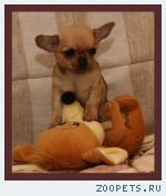 Чихуахуа роскошные щенки