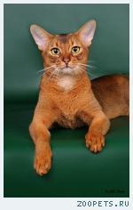 Вязка абиссинских кошек