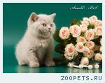 Британский лиловый котенок.