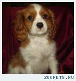 Продается щенок Кавалера - бленхейм!