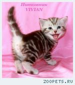 Британские шоколадные  котята из питомника VIVIAN