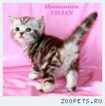 Британские котята шоколадный мрамор из VIVIAN