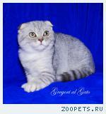 Вислоухие серебристые клубные котята