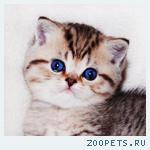 Золотая шиншилла с изумрудными глазками котята шоу-класс