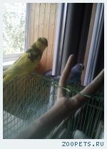 Пропал Волнистый попугай кеша