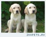 Продаются отличные щенки Лабрадора (RKF)!