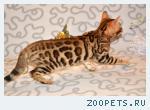 Отдам бенгальскую кошку