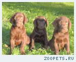 Шикарные щенки Лабрадора шоколадного окраса!