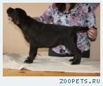 Шоколадные щенки Лабрадора — 4 месяца!