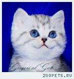 Британские клубные серебристые котята с изумрудными глазами